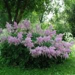 Обзор цветов Астильба