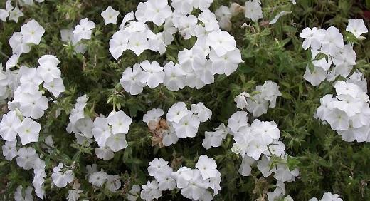 Флоксы Друммонда белого цвета