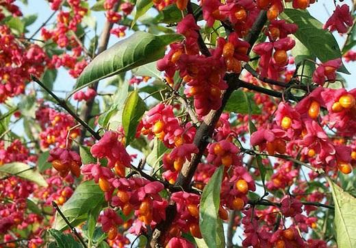 Плоды Бересклета Бородавчатого