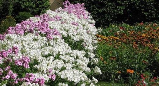Флоксы Друммонда разных расцветок