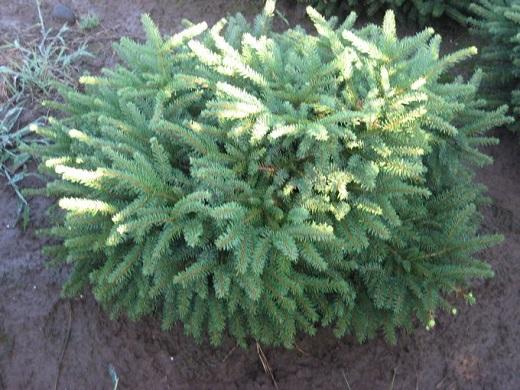 Подушковидная ель «Nidiformis»