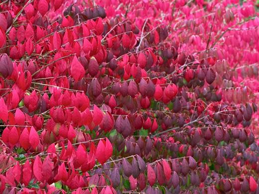 Буйство красок в осеннем наряде Бересклета Европейского