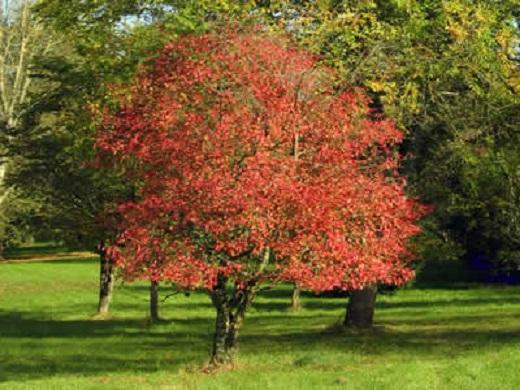 Кустарник Бересклета Европейского, похожего на дерево из-за размеров