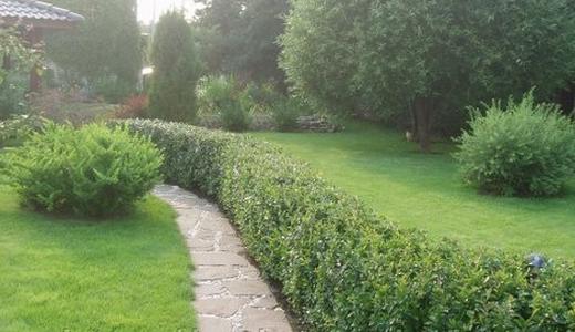 Изгородь из Кизильника