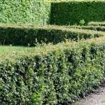 Особенности Кизильника Блестящего и рекомендации по выращиванию
