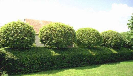 Живые изгороди из Кизильника блестящего могут быть любой формы