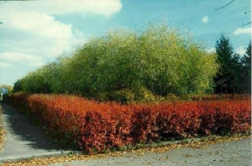 Живая изгородь из Кизильника осенью
