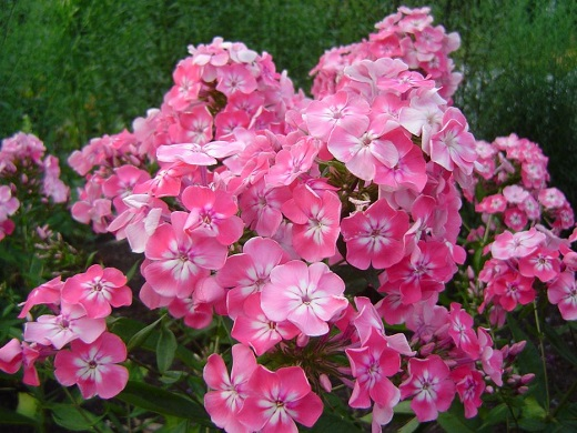 Флоксы в разгар цветения