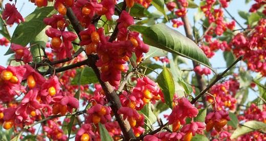 Красивые яркие плоды Бересклета Европейского