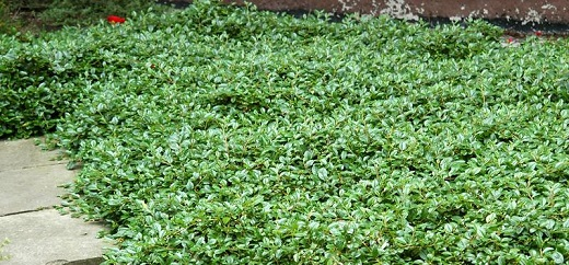 Кизильник вечнозеленый