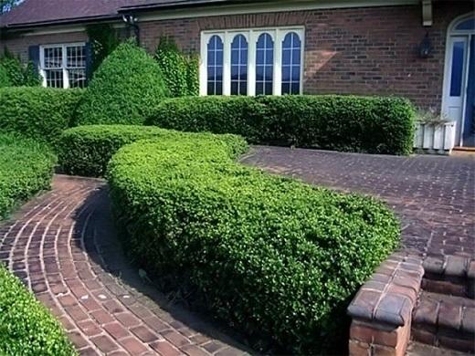 Живая изгородь чаще всего используется для ландшафтного дизайна загородного дома