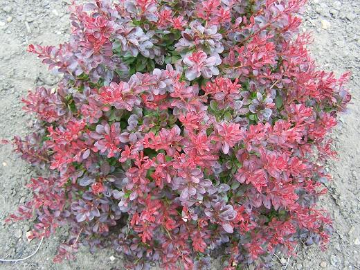 Барбарис тунберга атропурпуреа нана - красочный персонаж садовой сказки