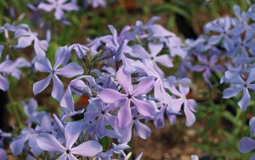 Phlox divaricata «Blue Parfume».