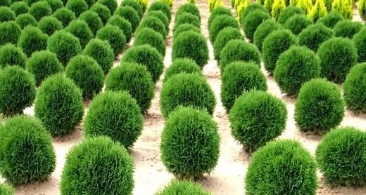 Аккуратные зеленые  шарики образует  туя литл гиант