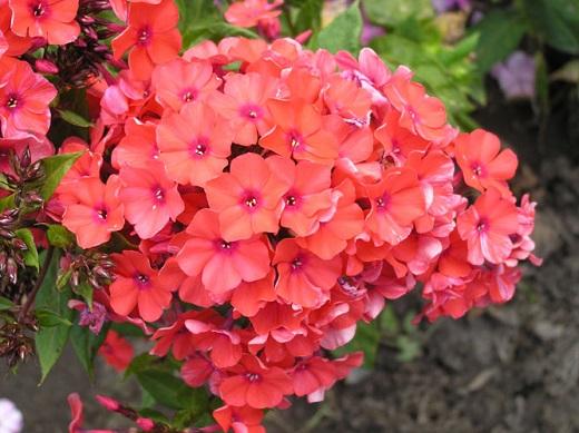 Флокс «Оранж перфекшн», цветение