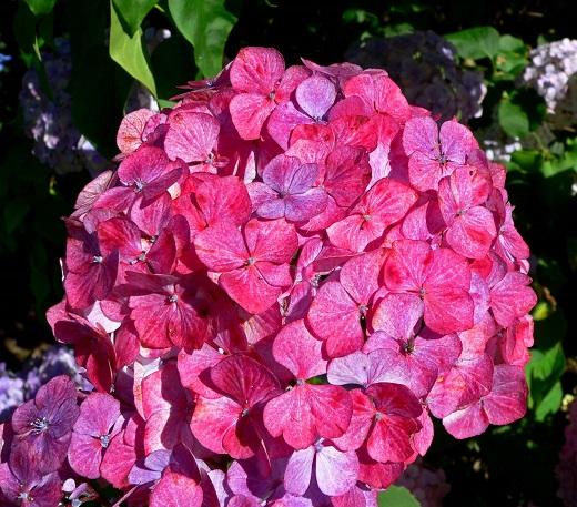 Гортензия пильчатая прециоза привлекает взгляд крупными цветками