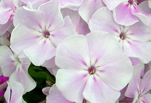Элегантность цветов  флокса метельчатого «Зимнее утро»