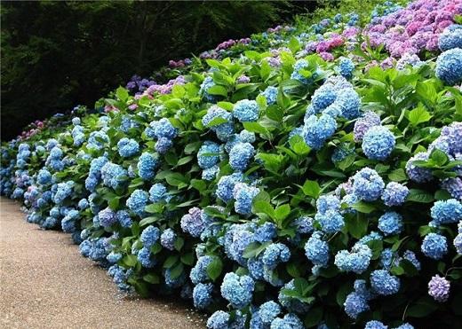 Аллея, украшенная цветущей гортензией