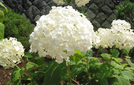 Белая гортензия украшает клумбу