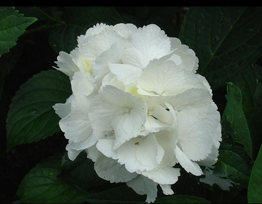 Белая гортензия - очарование снежной белизны летом