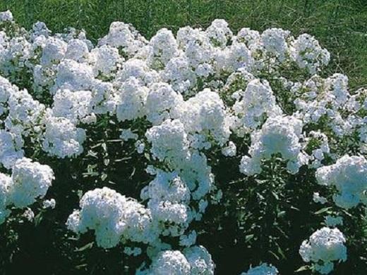 Белый метельчатый флокс в саду