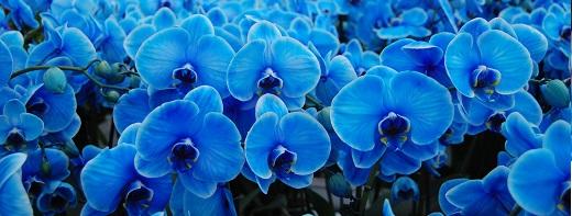 Голубая орхидея фаленопсис подарит небесную синеву