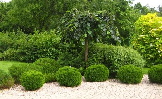 Туя даника в украшении дорожки в саду