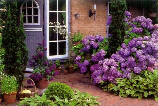 Гортензия садовая украшает цветник возле дома