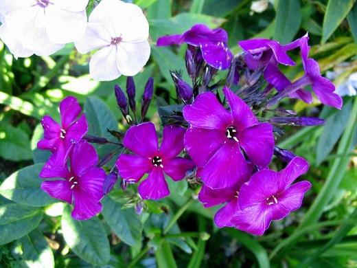 Уникальный насыщенный цвет флокса Дюстерлое