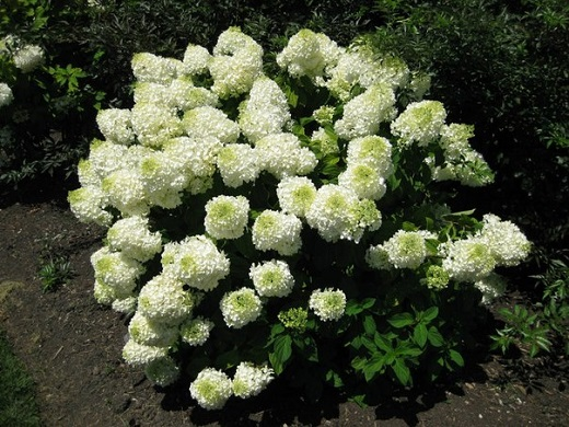 Оригинальные соцветия гортензии фантом метельчатая
