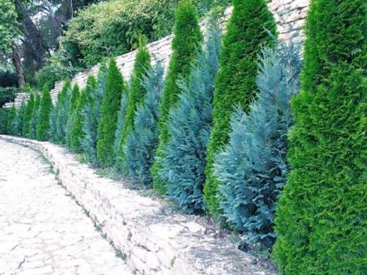 Эффектно разбавит вечнозеленый ансамбль туя голубая