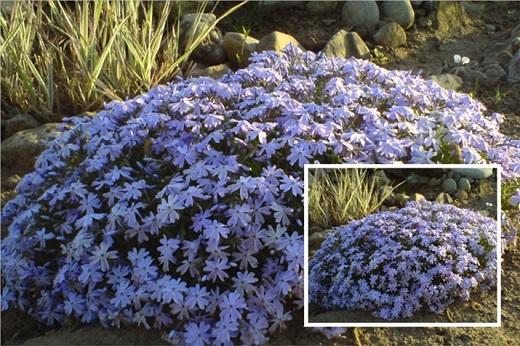 Цветение голубого флокса шиловидного