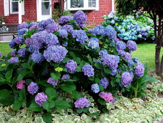 Гортензия крупнолистная  - яркое украшение сада