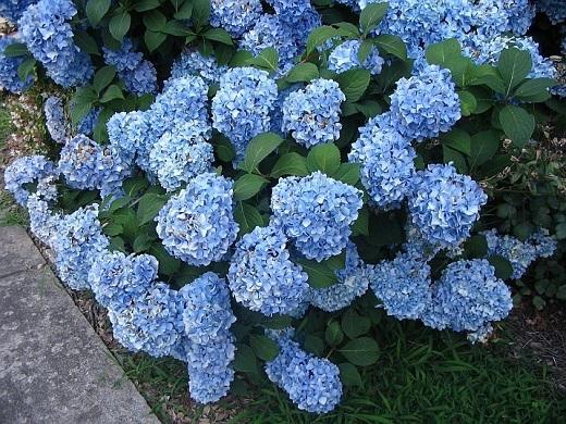 Гортензия крупнолистная голубая - кусочек неба в саду