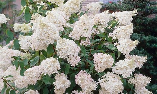 Гортензия древовидная грандифлора  украсит любой сад