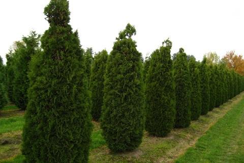 Живые колонны в саду образует туя западная холмструп