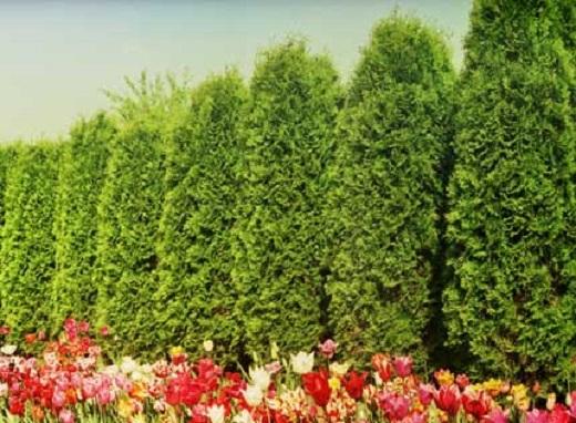 Живая изгородь будет внушительной и элегантной, если это туя колонновидная