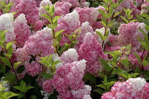 Гортензия метельчатая в розовом цвете