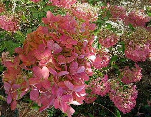 Так цветет гортензия метельчатая мега минди