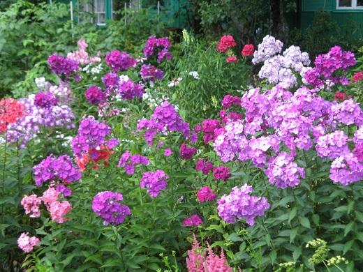 Многоцветковые флоксы на клумбе