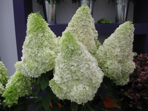 Гортензия метельчатая мэджикал мунлайт впечатляет своими необыкновенно красивыми соцветиями