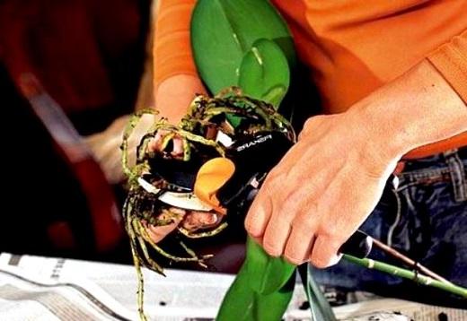 Обрезание сухих корней