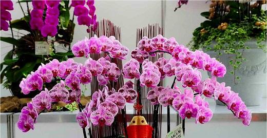Орхидея фаленопсис украсит любой цветник