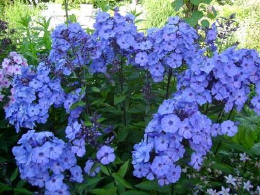 Цветы «блу парадайз»