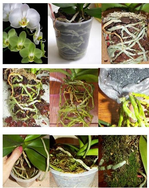 Процесс пересадки орхидеи фаленопсис