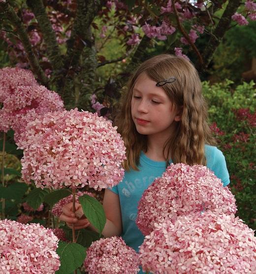 Гортензия пинк Аннабель в саду