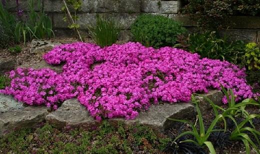 Цветы розового флокса шиловидного