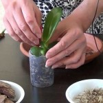 Особенности ухода за орхидеей фаленопсис в домашних условиях