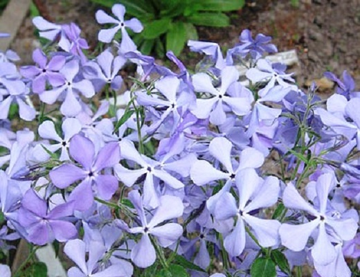 Phlox divaricata «Violet Queen»
