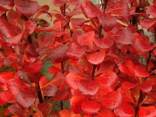 Яркие краски барбариса Тунберга ред пилар